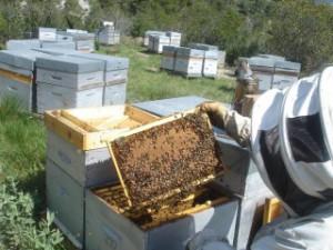 abeilles.sur.un.beau.cadre.de.couvain